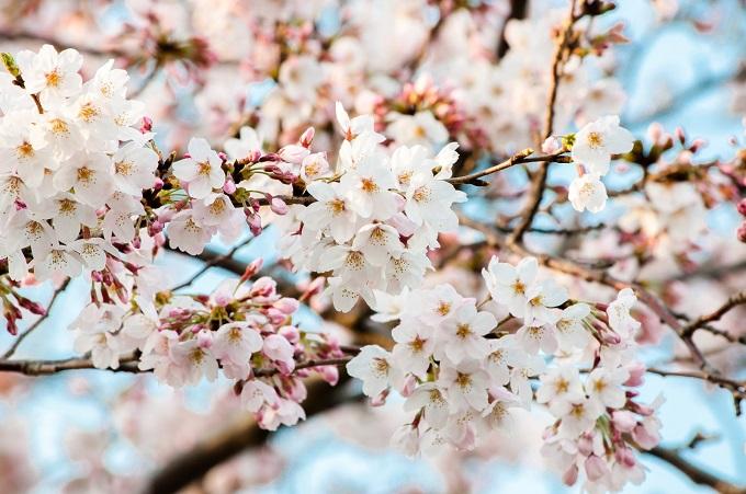 ht220411桜咲いた!